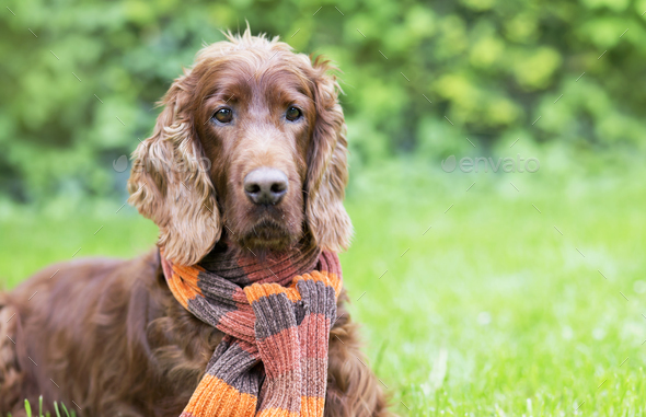 Beautiful dog wearing a scarf - Stock Photo - Images