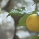 Branches of an Orange Tree - VideoHive Item for Sale