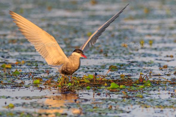 common terns (sterna hirundo hirundo) - Stock Photo - Images