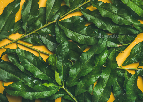 Luah tropical tree green leaves over bright yellow background - Stock Photo - Images