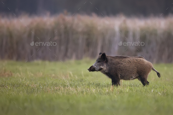 Wild boar in a clearing - Stock Photo - Images