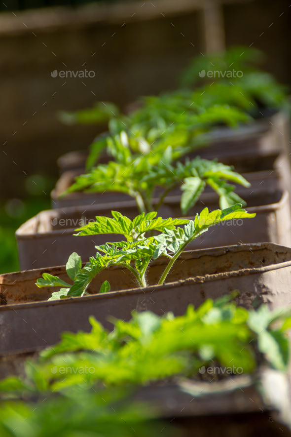 Tomato seedlings - Stock Photo - Images