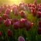 Purple Flowers Tulips Swaying Gently From a Weak Wind. The Rays of the Setting Sun Beautifully - VideoHive Item for Sale