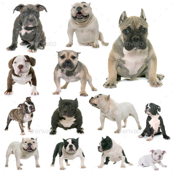 group of american bully - Stock Photo - Images