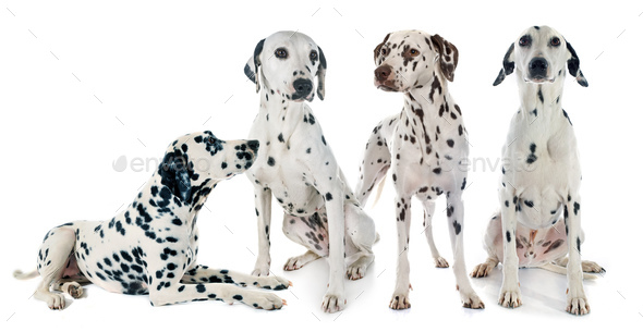 group of dalmatian - Stock Photo - Images