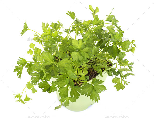 parsley in studio - Stock Photo - Images