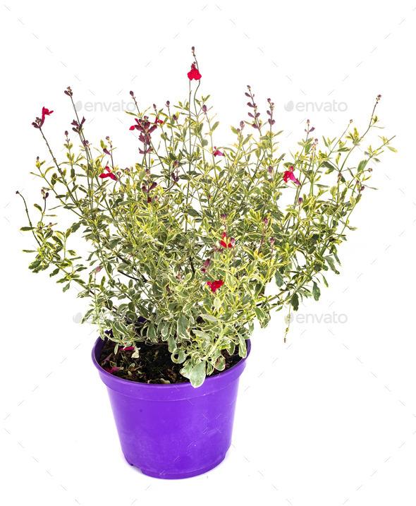 decorative salvia in studio - Stock Photo - Images