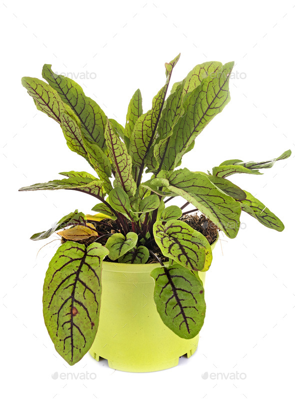 rumex sanguineus in studio - Stock Photo - Images
