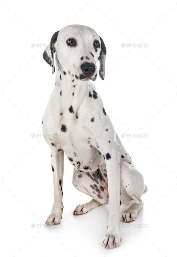 dalmatian in studio - Stock Photo - Images