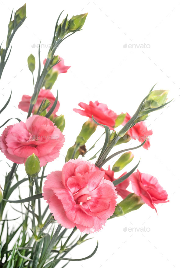 Dianthus in studio - Stock Photo - Images