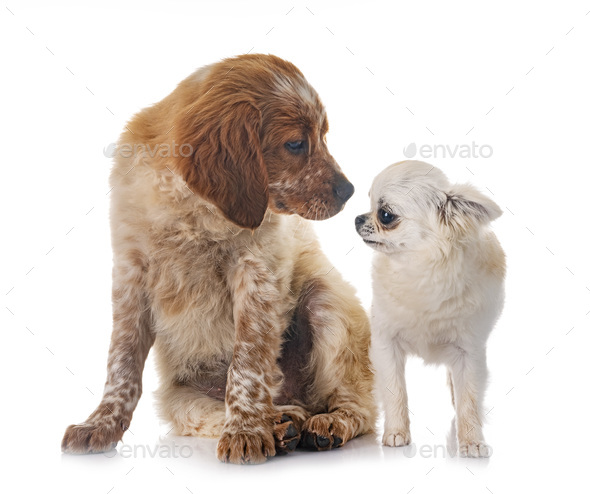 puppy brittany spaniel and chihuahua - Stock Photo - Images