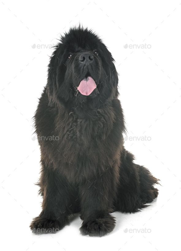 newfoundland dog in studio - Stock Photo - Images