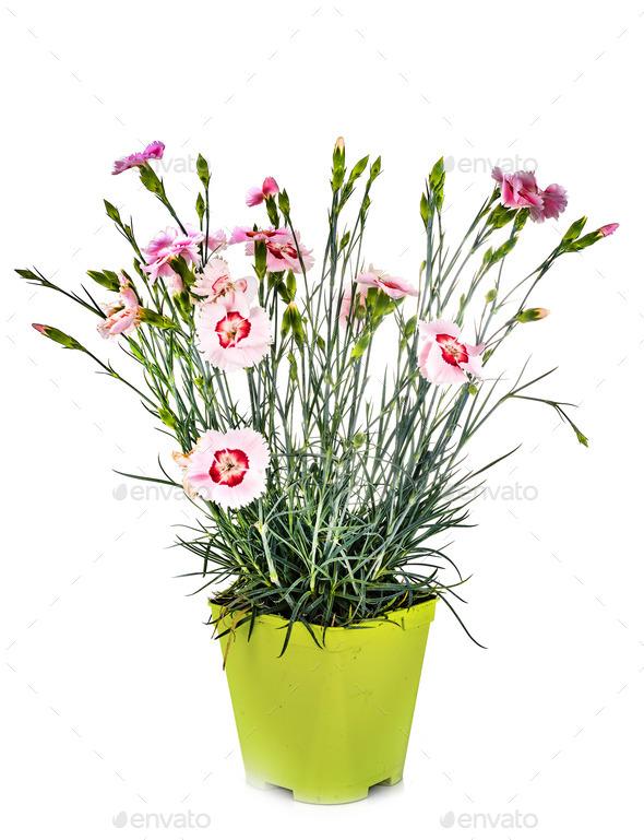 Dianthus in studio - Stock Photo - Images