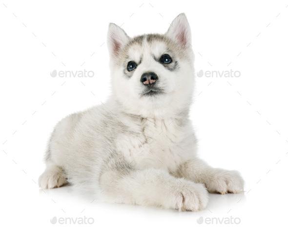 puppy siberian husky - Stock Photo - Images