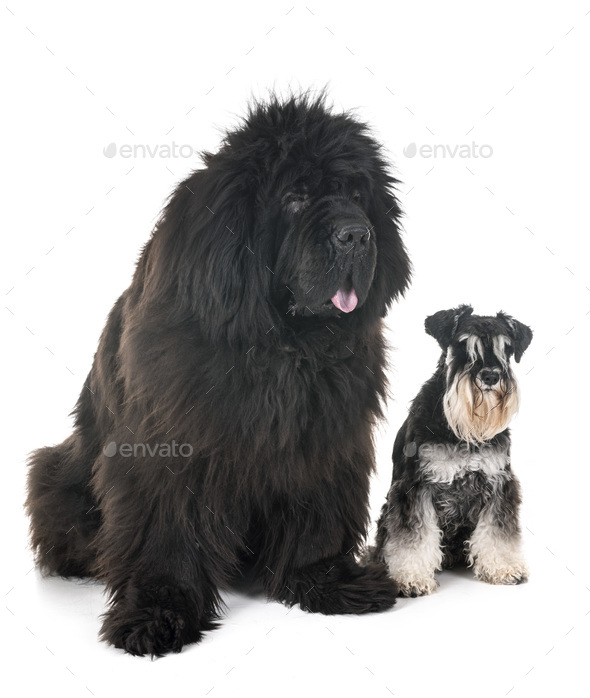 newfoundland dog and schnauzer - Stock Photo - Images