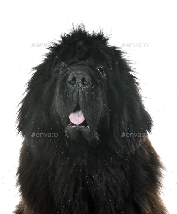 tibetan mastiff in studio - Stock Photo - Images