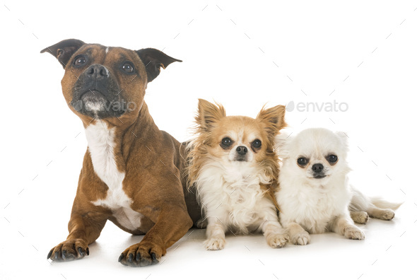 staffordshire bull terrier and chihuahuas - Stock Photo - Images