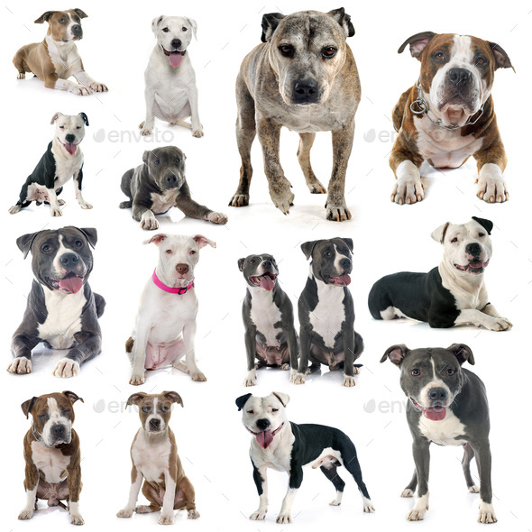 group of american staffordshire terrier - Stock Photo - Images