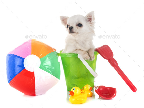 puppy chihuahua in holidays - Stock Photo - Images
