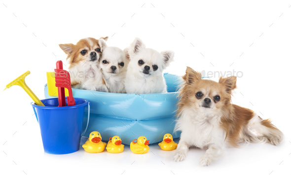 chihuahuas in holidays - Stock Photo - Images