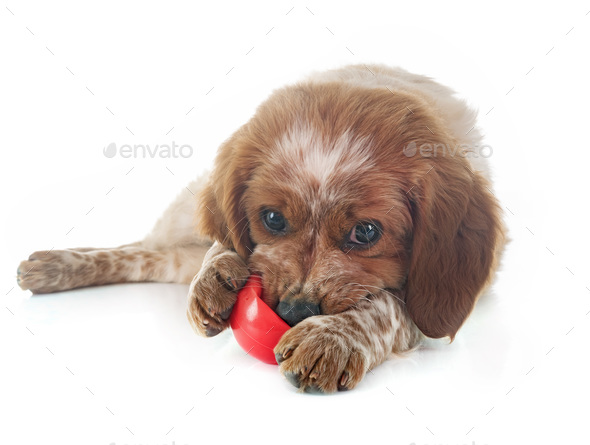 puppy brittany spaniel - Stock Photo - Images