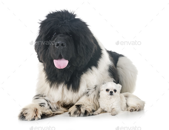 newfoundland dog and chihuahua - Stock Photo - Images
