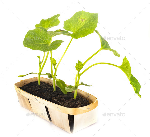 melon plant in studio - Stock Photo - Images