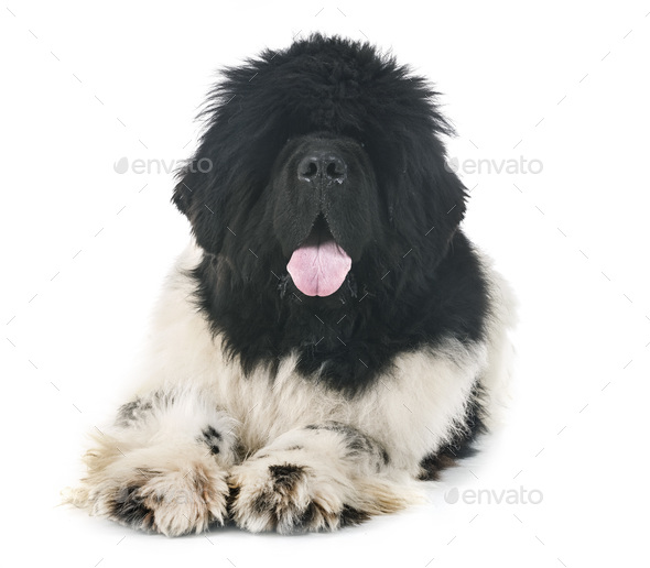 newfoundland dog in studio - Stock Photo - Images