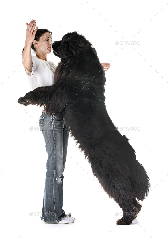 newfoundland dog and woman - Stock Photo - Images