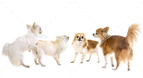 playing chihuahuas in studio - Stock Photo - Images