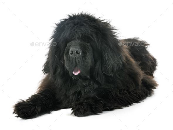 tibetan mastiff in studio - Stock Photo - Images