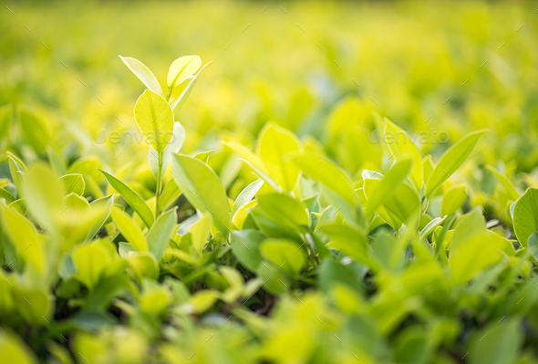 Close up green leaf in plantation-5 - Stock Photo - Images