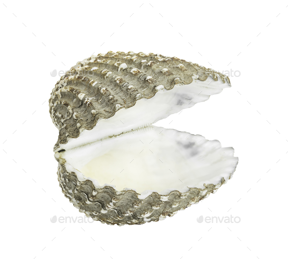 Scallop shall isolated on white 7 - Stock Photo - Images