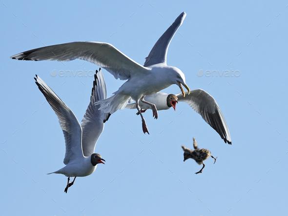 Black-headed gull (Chroicocephalus ridibundus) chasing European herring gull (Larus argentatus) - Stock Photo - Images