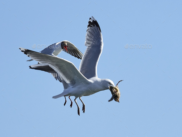 Black-headed gull (Chroicocephalus ridibundus) chasing European herring gull (Larus argentatus) - Stock Photo - Images