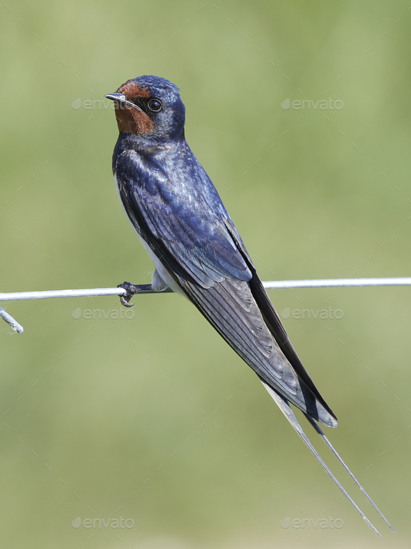Barn swallow (Hirundo rustica) - Stock Photo - Images