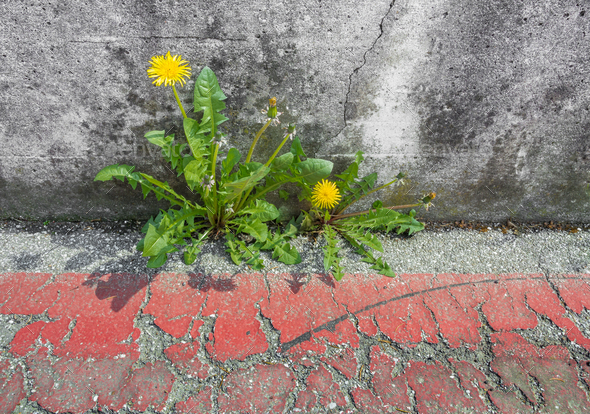Dandelion on asphalt - Stock Photo - Images