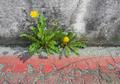 Dandelion on asphalt - PhotoDune Item for Sale