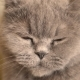Gray Cat Turns His Head - VideoHive Item for Sale