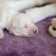 Sleeping Newborn Puppy Golden Retriever - VideoHive Item for Sale