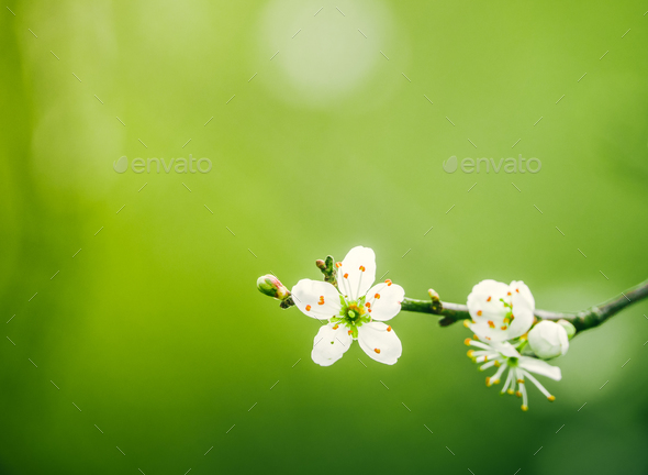 Tree Blossom With Copy Space - Stock Photo - Images