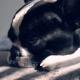 Portrait Melancholy Puppy - VideoHive Item for Sale