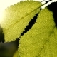 Green Leaves in Summer - VideoHive Item for Sale