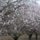 Blooming Almond Trees at Spring Time