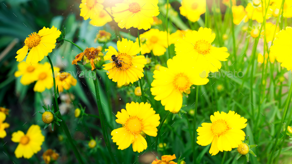 A bee on yellow daisy flower, in garden - Stock Photo - Images
