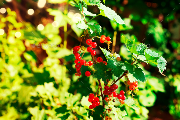 Bush of ripe red currants with dew drops green and red berries background - Stock Photo - Images