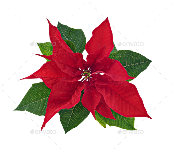 Poinsettia Flower Isolated - Stock Photo - Images