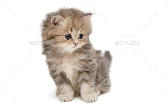 Funny kitten of British marble breed - Stock Photo - Images