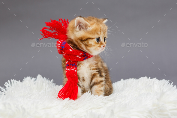 Little  kitten  in a red scarf - Stock Photo - Images