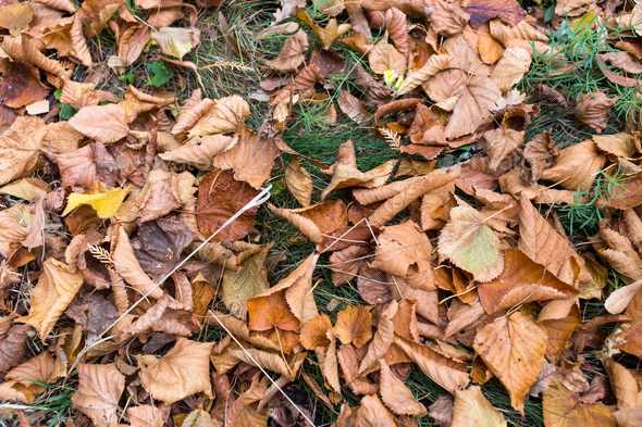 Dry yellow leaves on the ground. - Stock Photo - Images